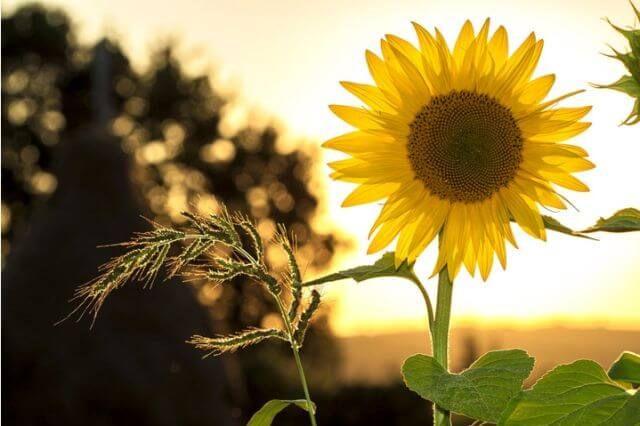 hipertenzija ir saulėgrąža